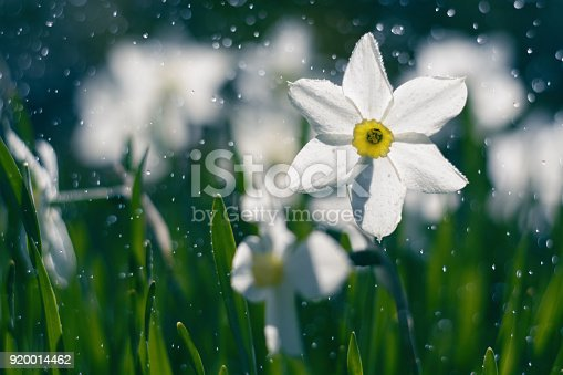 istock Beautiful daffodils in the rain. Daffodils and sunshine. 920014462