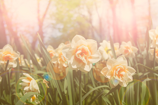 Beautiful daffodils in the sun is shining outdoors. Selective focus