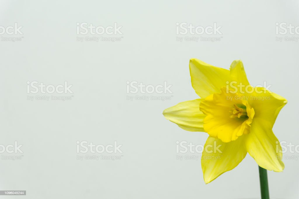 Beautiful Daffodils Isolated On White Background Spring Flowers