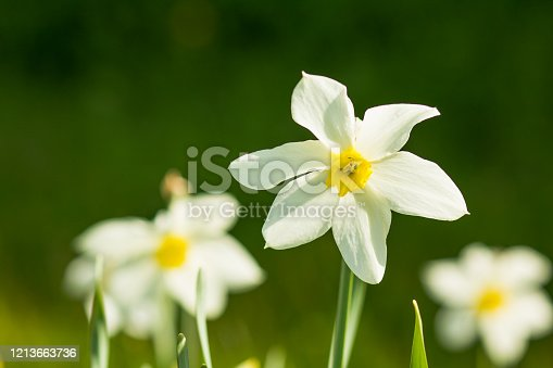 639245704 istock photo Beautiful daffodils on sunshine against blue sky spring background. Colorful sweet tender romantic airy artistic image.daffodil flowers,white with yellow flowers blooming in the garden in spring. Sunny spring day 1213663736