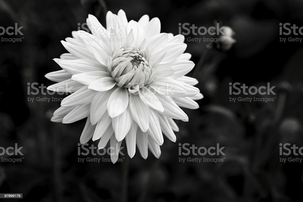 Beautiful Dahlia black and white royalty-free stock photo