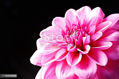 Close up shot of pink crimson dahlia flower with visible petal pattern on gigantic but. Isolated background, close up, copy space, top view.