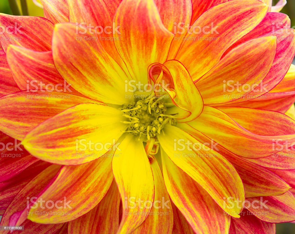 Beautiful Dahlias in a garden at the end of summer stock photo
