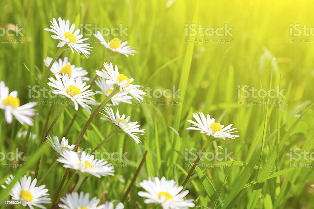 Beautiful daisies royalty-free stock photo