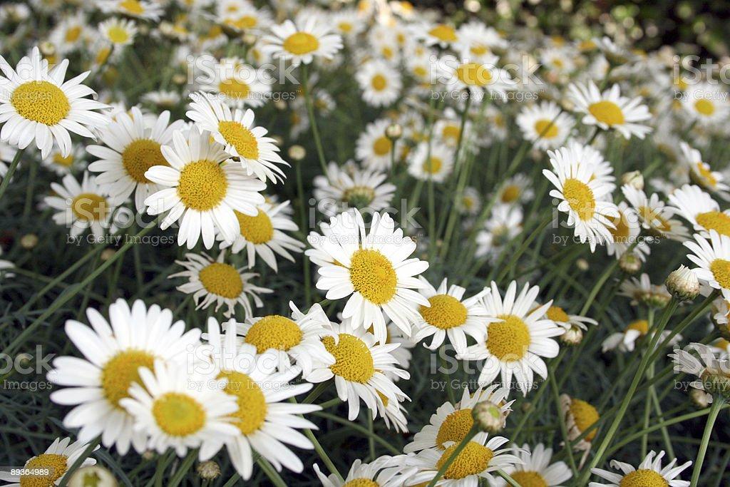 Bellissimo daisies foto stock royalty-free