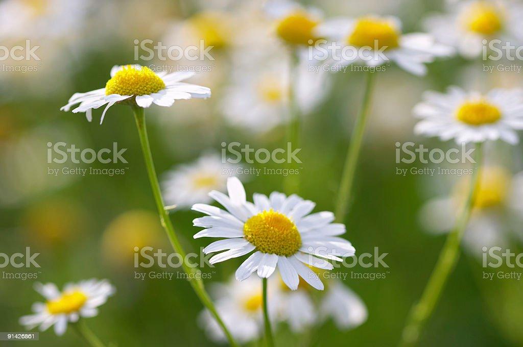 beautiful daisies #2 stock photo