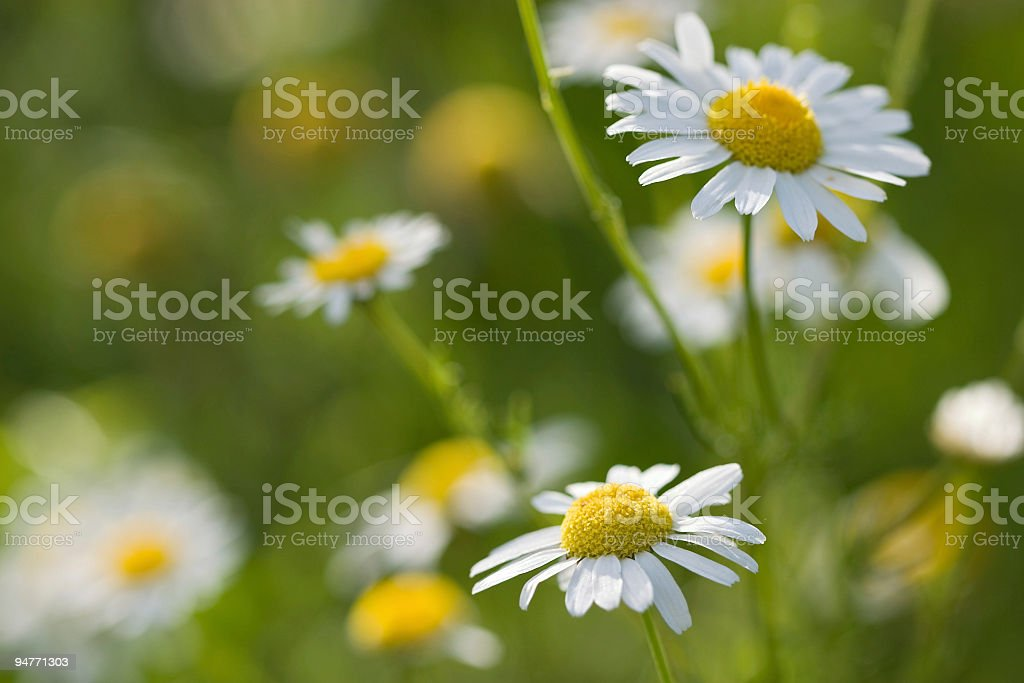 beautiful daisies royalty-free stock photo