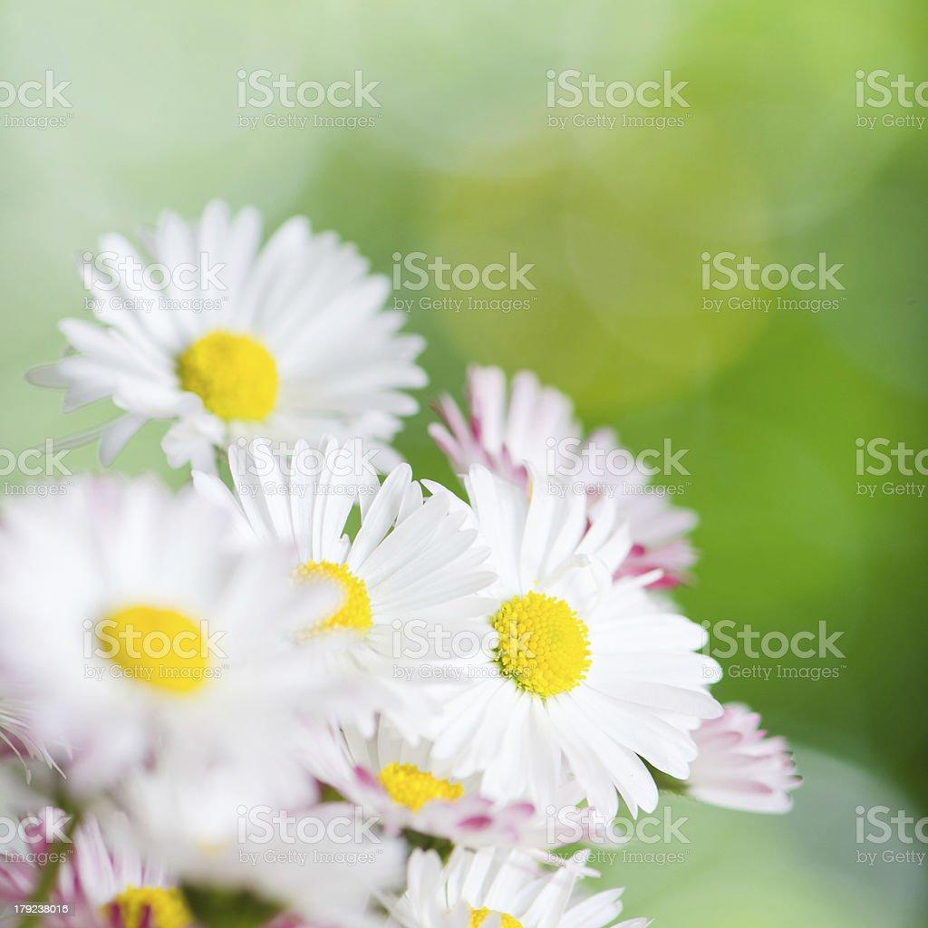Beautiful daisy flowers, close-up. Summer background royalty-free stock photo