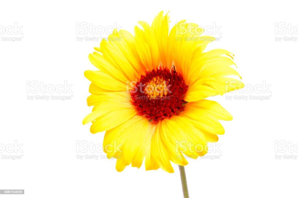 Beautiful daisy flowers isolated on white background .