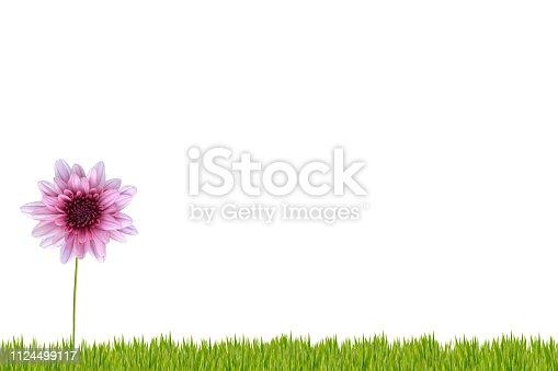 Beautiful daisy isolated