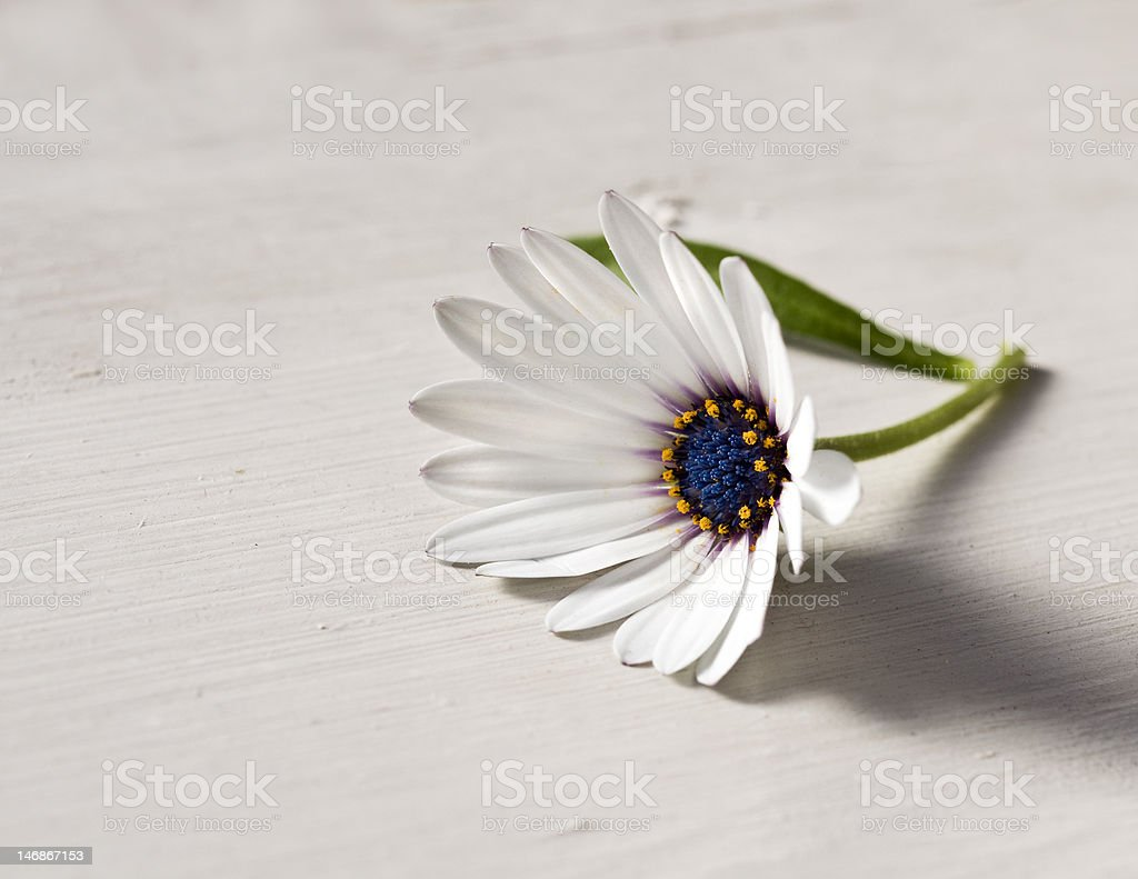 Beautiful daisy on the rustic table royalty-free stock photo