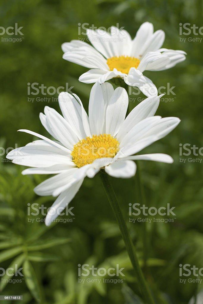 beautiful daisy royalty-free stock photo