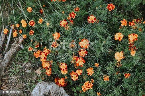 Serbia, Thailand, Chrysanthemum, Flower, Abandoned