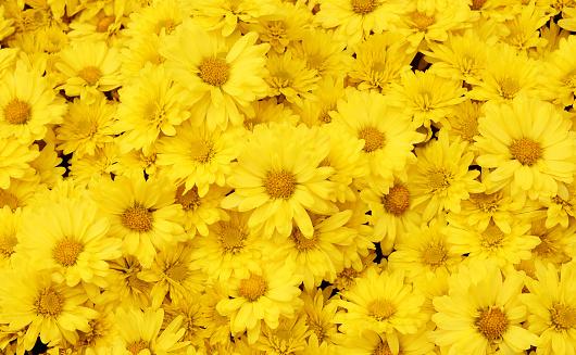 Beautiful dandelion background, yellow flowers is blooming in the garden.