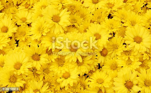 Beautiful dandelion background, yellow flowers is blooming in the garden.