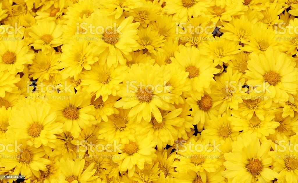 Beautiful dandelion background, yellow flowers is blooming in the garden. stock photo