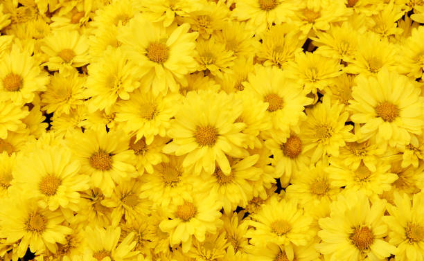 beautiful dandelion background, yellow flowers is blooming in the garden. - flowers stock photos and pictures
