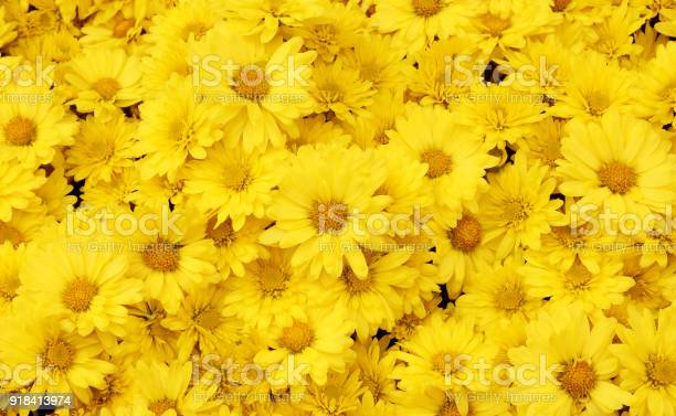 Photo of Beautiful dandelion background, yellow flowers is blooming in the garden.