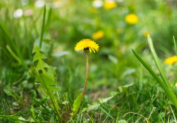 Beautiful dandelion flower on green meadow in spring. stock photo