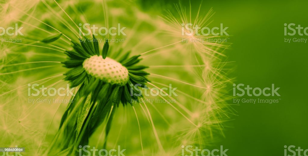 A Beautiful dandelion macro view, one seed zbiór zdjęć royalty-free
