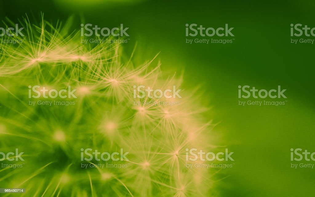 A Beautiful dandelion macro view, one seed royalty-free stock photo