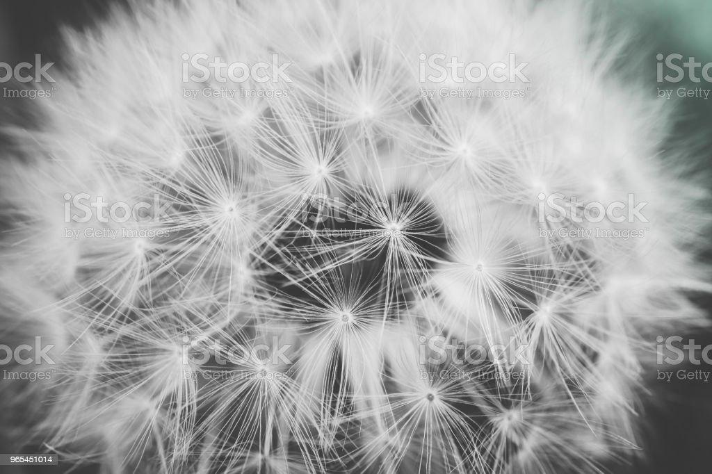 Une belle vue macro pissenlit, une seule graine - Photo de Abstrait libre de droits