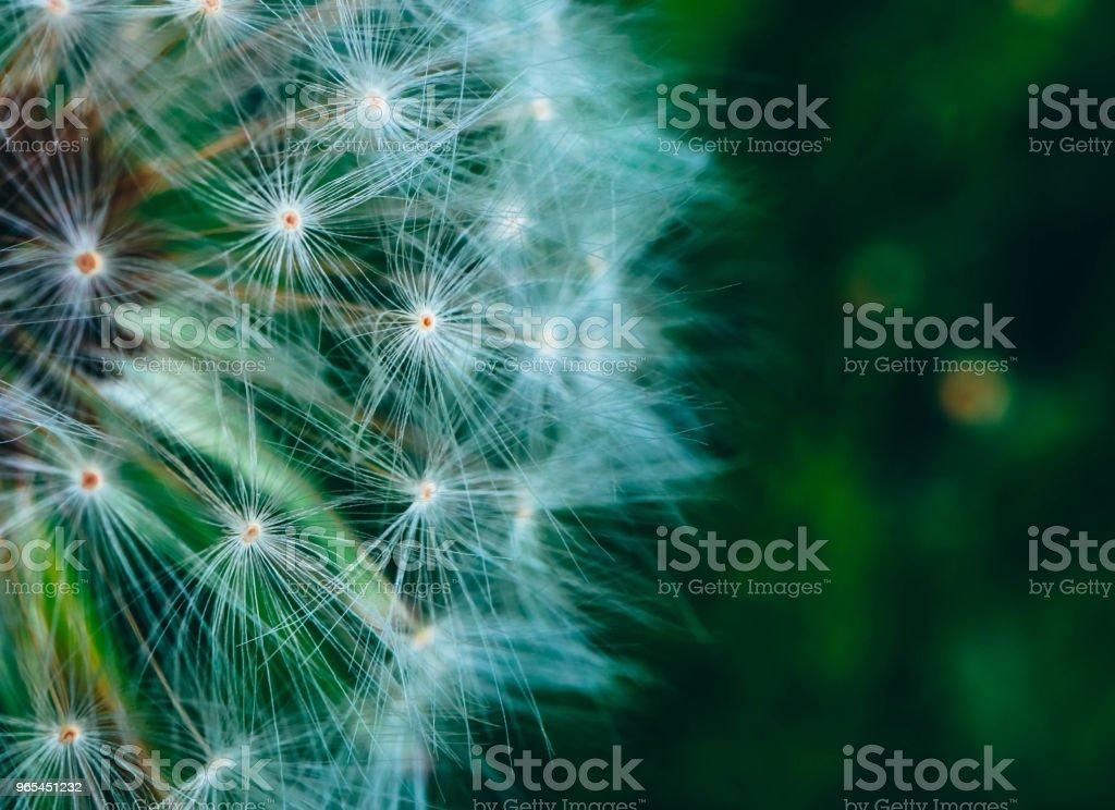 A Beautiful dandelion macro view, one seed zbiór zdjęć royalty-free