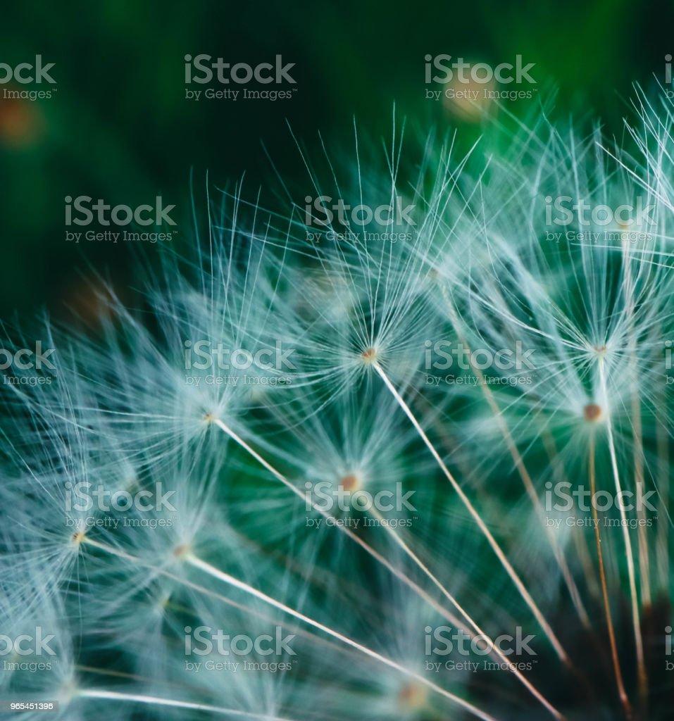 A Beautiful dandelion macro view, one seed royalty-free stock photo