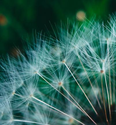 하나의 씨앗이 아름 다운 민들레 매크로 보기 계절에 대한 스톡 사진 및 기타 이미지