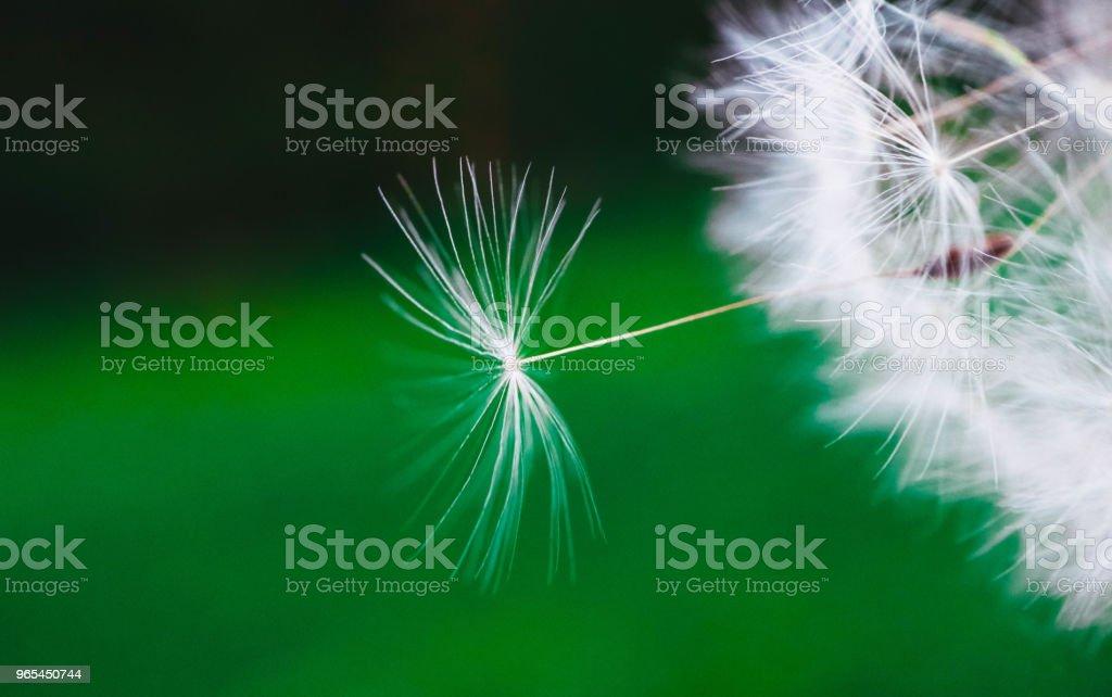 Beautiful dandelion macro view, seeds zbiór zdjęć royalty-free
