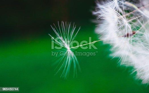 Beautiful Dandelion Macro View Seeds - Stockowe zdjęcia i więcej obrazów Dmuchać