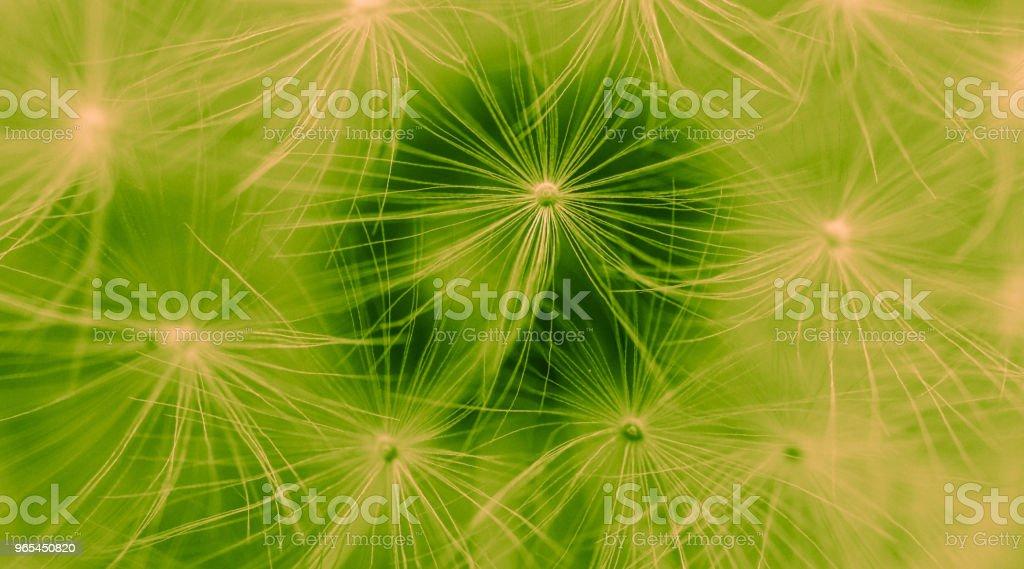 Vue magnifique macro pissenlit, graines - Photo de Aigrette de pissenlit libre de droits