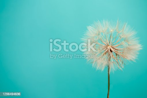 Beautiful dandelion seeds of dandelion flower on blue background, close up. Spring concept. Macro shot. Freedom to Wish. Conceptual image meaning change, growth, movement and direction