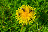 Flowers and insects, dandelion, yellow, green