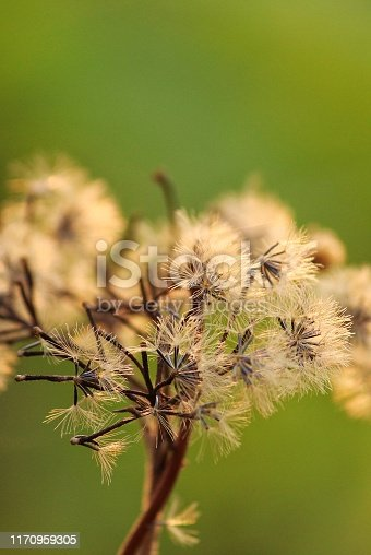 157681198 istock photo Beautiful dandelions flowers in green background 1170959305