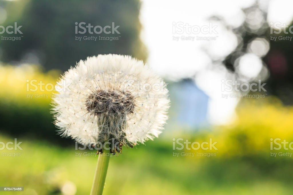 beautiful dandelions in green grass photo libre de droits