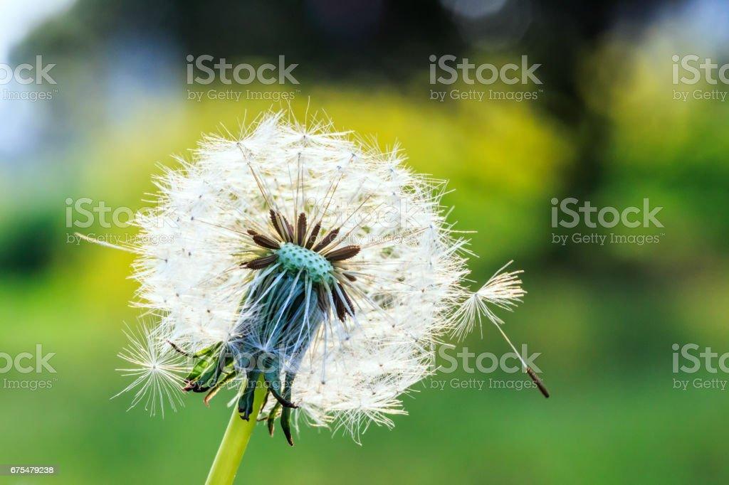 beau pissenlits en herbe verte photo libre de droits