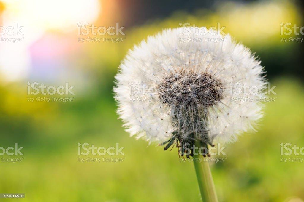 güzel dandelions yeşil çimen royalty-free stock photo