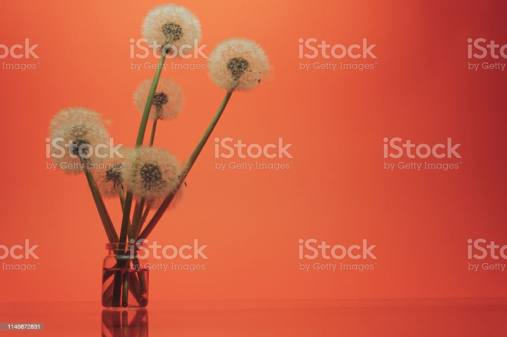 Beautiful Danelions in glass vase on a glass table and coral orange...