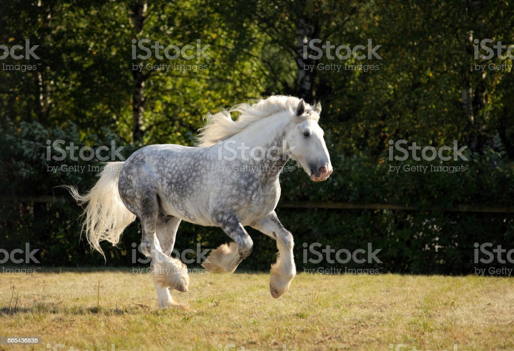 Beautiful dapple grey horse galloping stock photo
