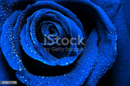 istock beautiful dark blue rose with water dew drops 525017750