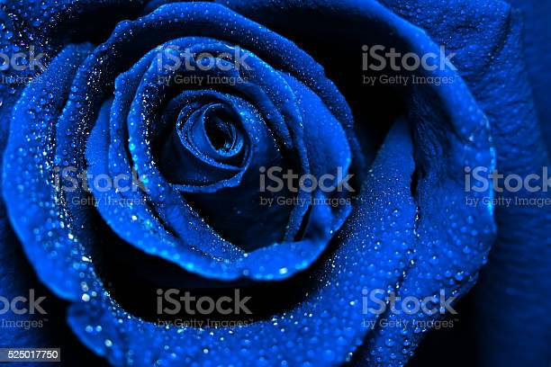 Beautiful dark blue rose with water dew drops picture id525017750?b=1&k=6&m=525017750&s=612x612&h=wj ayuvefge9pmrxwtvr5mtwcr8vkmu 2ph160zms7g=