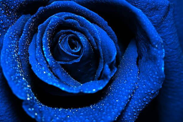 Beautiful dark blue rose with water dew drops picture id525017750?b=1&k=6&m=525017750&s=612x612&w=0&h=jib947vm7c3rr62bkhcke6 66ug6sj5kzgcgvq7dvwc=