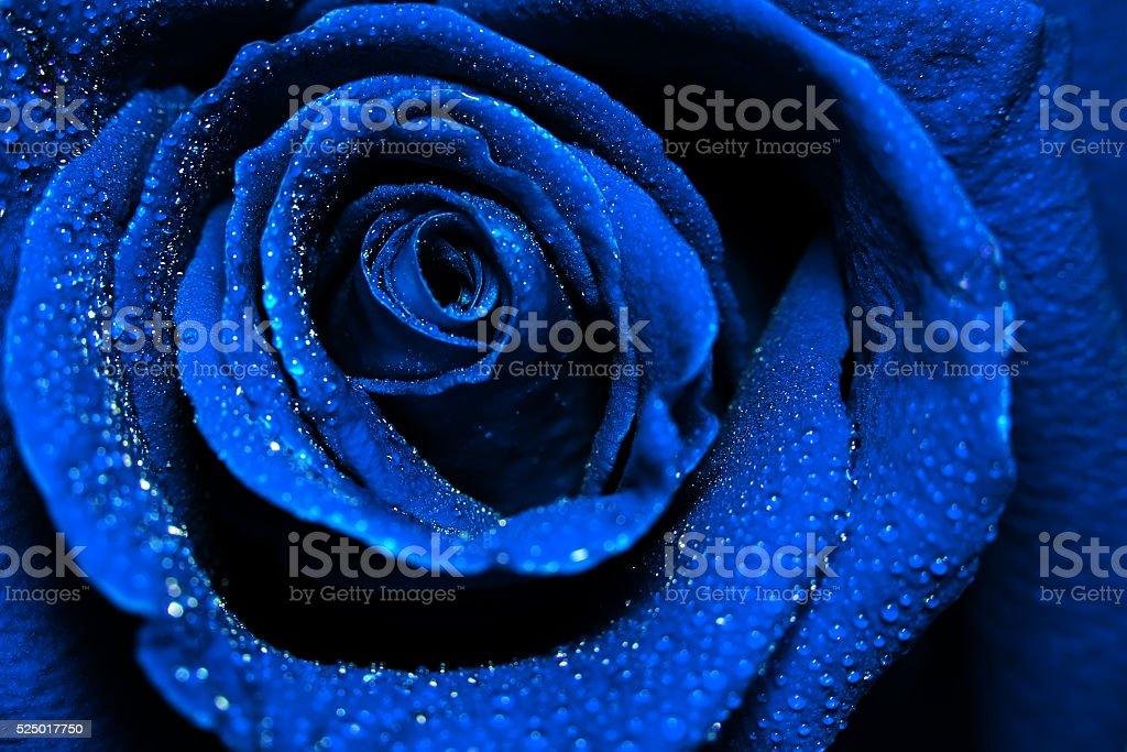 Wunderschöne dunkle blaue stieg mit Wasser Tropfen Tau – Foto
