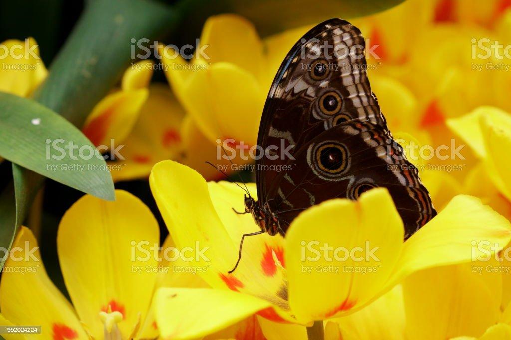 Hermosa Oscuro Mariposa Búho En Unas Flores Amarillas Foto
