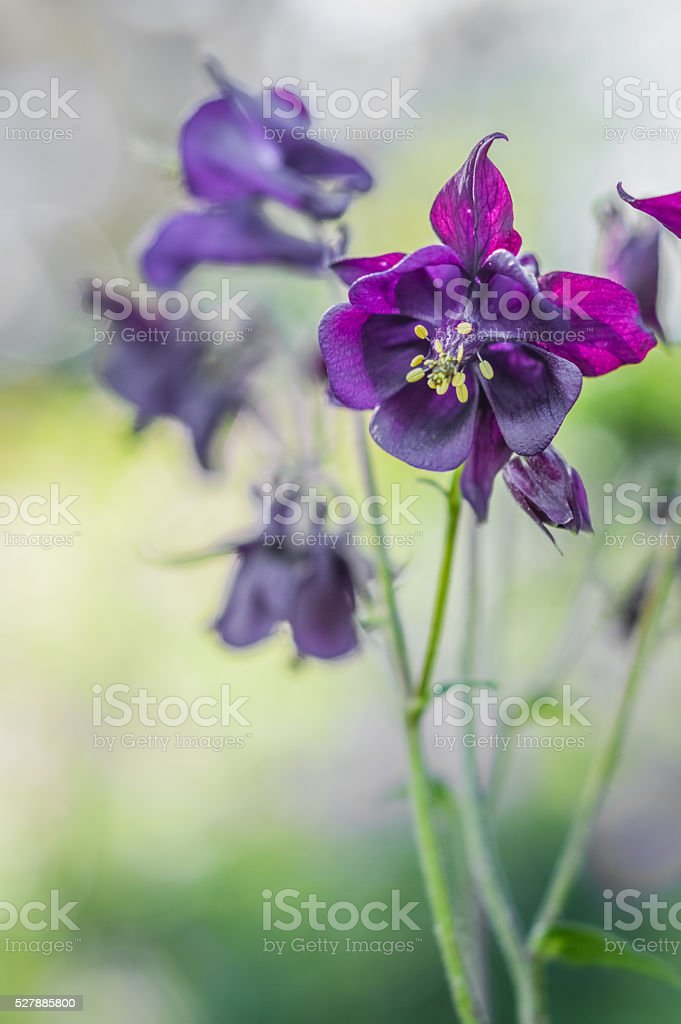 Beautiful Dark Purple Columbine Flowers Stock Photo Download