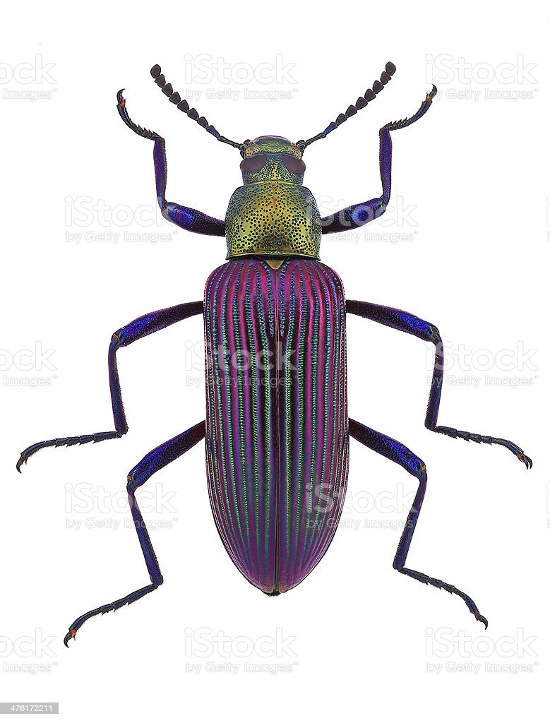 beautiful darkling beetle Strongylium cupripenne from Madagascar (Tenebrionidae) stock photo