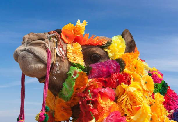 Beautiful decorated Camel at Bikaner camel fesrival in Rajasthan, India stock photo