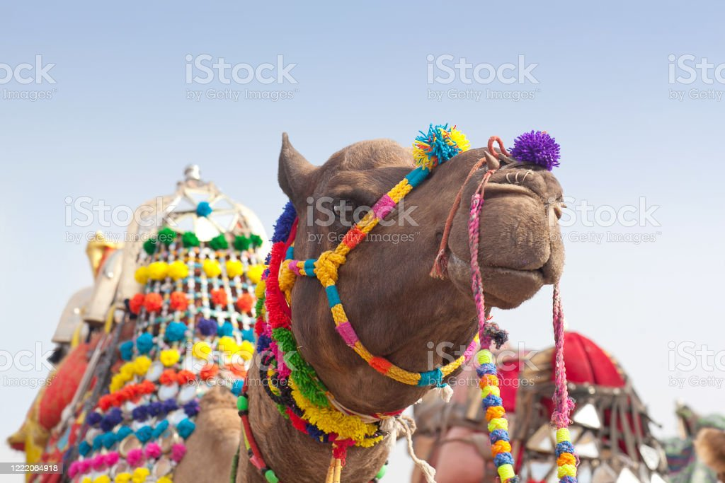 Beautiful decorated Camel on Bikaner Camel Festival in Rajasthan, India Beautiful decorated Camel with Indian flag close up on Bikaner Camel Festival in Rajasthan state, India Agricultural Fair Stock Photo
