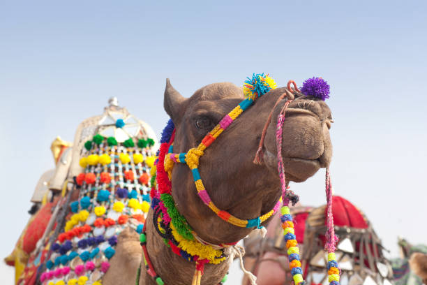 Beautiful decorated Camel on Bikaner Camel Festival in Rajasthan, India stock photo